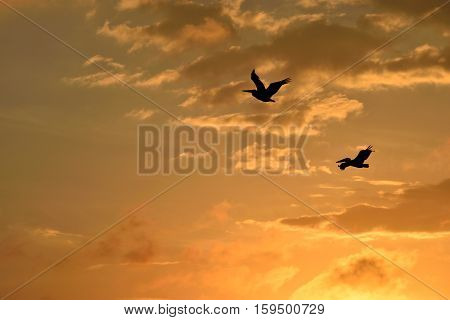 Pelicans flying over the river at sunset St. Augustine, Florida