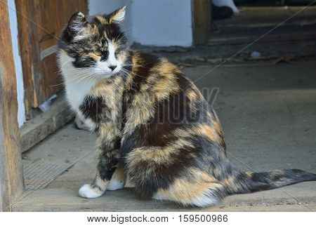 A close up of the multicolored cat.