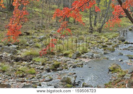 The branches of autumn maple above small river.
