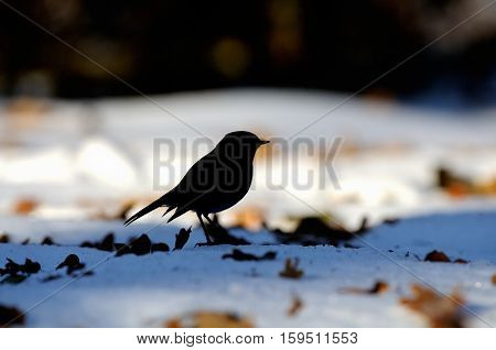 Silhouette of European Robin (Erithacus rubecula) among dry leaves in the snow. Moscow Russia