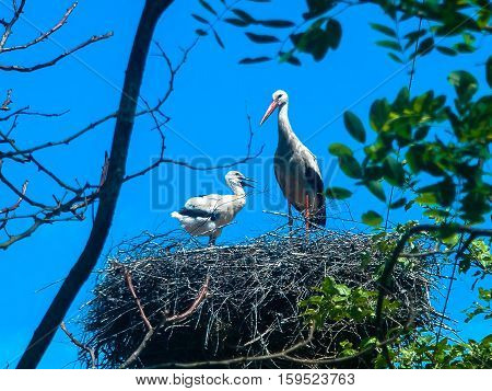 stork in the nest feeding the chick