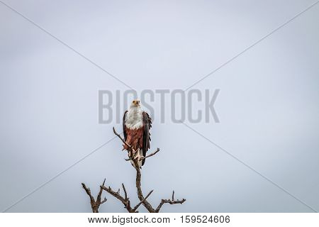 Fish Eagle Sitting On A Branch.