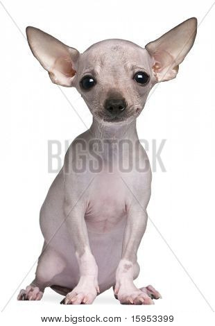 Hairless Chihuahua, 5 months old, sitting in front of white background