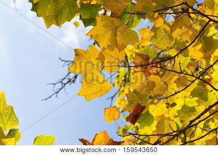 Colorful Autumn Leaves On American Tulip Poplar Tree (liriodendron Tulipifera)