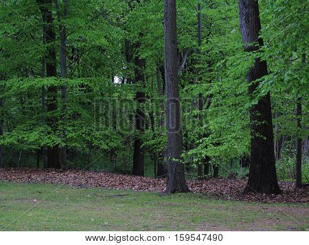 Line of Trees in Late Summer - Edge of a green woodland with fallen leaves and foreground copy space.