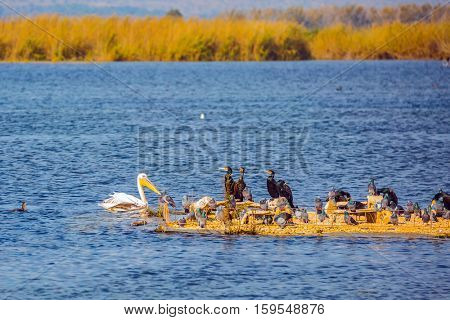 Various types of water birds wintering at Lake Hula. Dense thickets of grass. Hula Nature Reserve, Israel, December