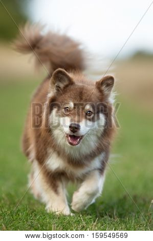 Happy Finnish Lapphund Puppy