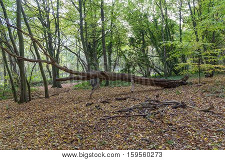 Taken in Hainault Forest in November and shows this fallen dead tree trunk lying amongst the autumn leaaves.