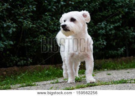 Little white dog posing in the garden
