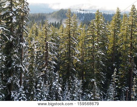 Fir trees with illuminated snow from the sun and a fogbank at the base of a mountain on the Santiam Pass in Oregon on a winter afternoon.