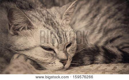 close up shot of sleeping british cat