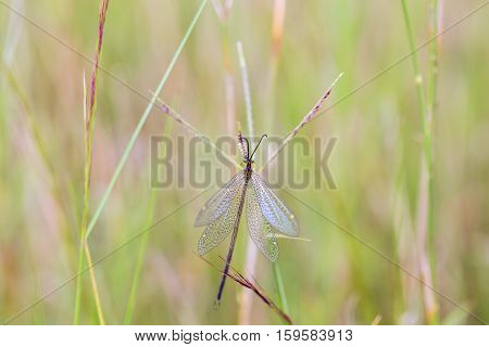 Grey lacewing in Mexico. Green lace wing in mexico. Delicate paterned wings. They feed on pollen, nectar and honeydew supplemented with mites, aphids and other small arthropods