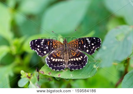 Texan Crescent butterfly found in wild flower fields of central Mexico