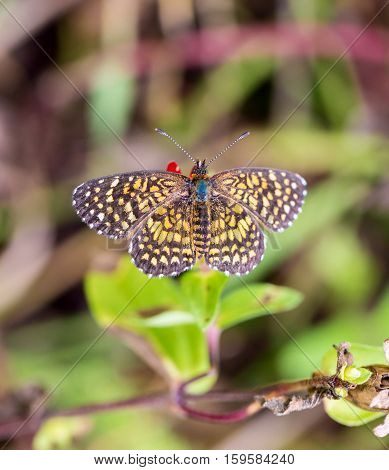 Elada Checkerspot butterfly found in the wildflower fields of Mexico