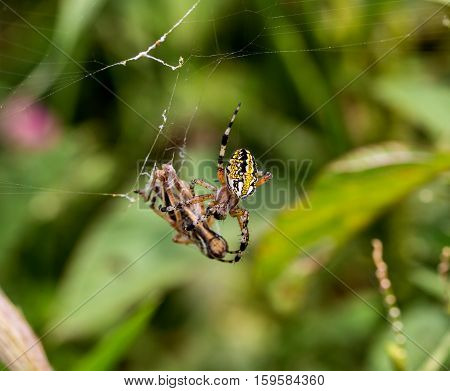 The marbled orb-weaver, is a species of spider belonging to the family Araneidae. It has a wide distribution it is found throughout all of Canada to Mexico. It is one of the most colorful spiders.