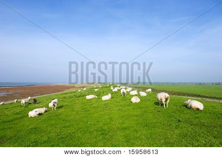 Wide landscape with dike and sheep near the sea at Ameland