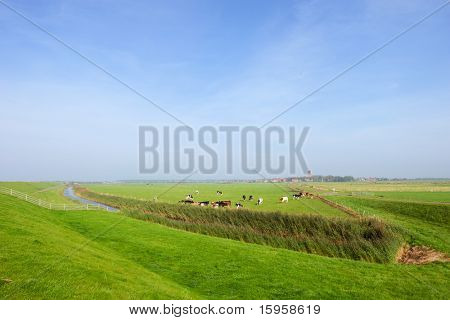 Wide landscape with cows at Dutch island Ameland