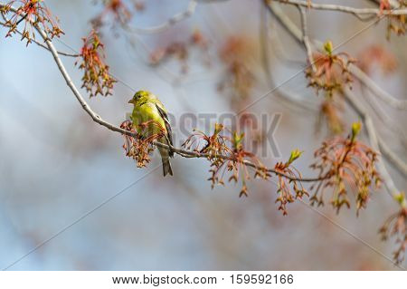 A female American Goldfinch (Carduelis trstis) perched on a maple branch in spring.