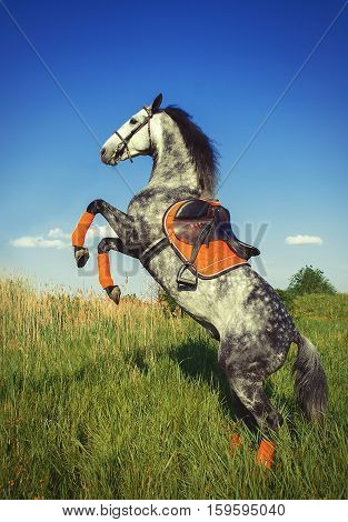 Grey Horse On Its Hind Legs