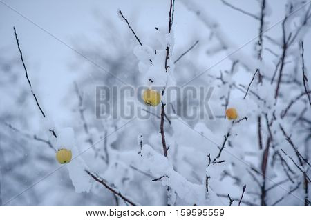 apples under the snow snow winter nature beautiful