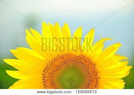 Sunflower, Summer Day