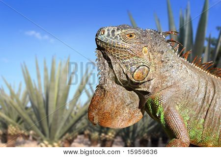 Iguana Mexico in agave tequila plant field blue sky