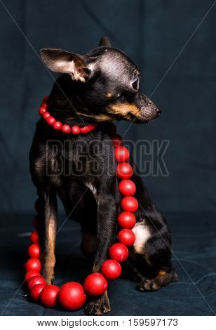 Chihuahua In Red Beads