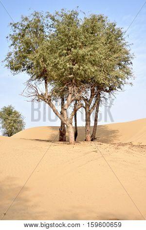 Trees on desert around Dubai with dunes, United Arab Emirates
