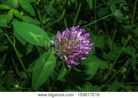 Close up of a single purple clover flower