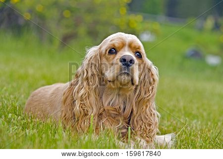 Cocker Spaniel female laying in grass, looking into camera
