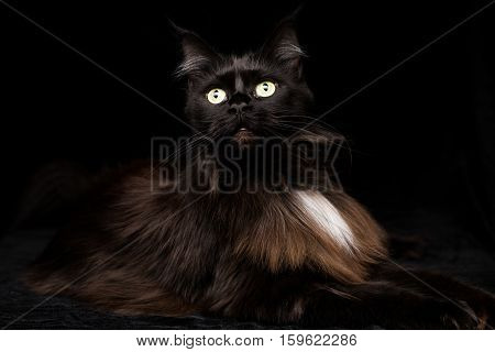 Studio Portrait of a beautiful Maine Coon Cat against Black Background