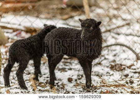 The little black lamb on the home yard.