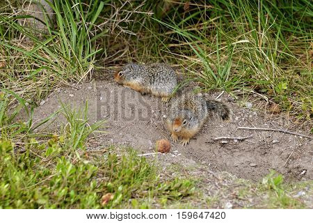 Ground Squirrel. Banff National Park, Canada, Alberta