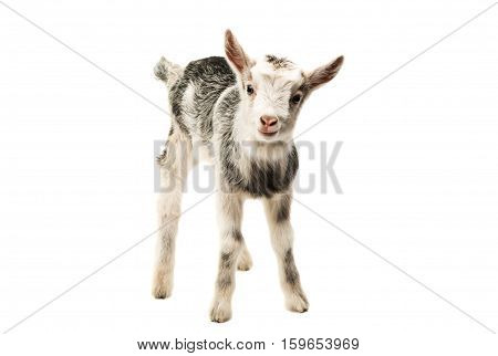 Gray goat farm animal isolated on white background