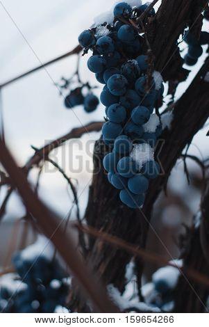 Vineyards In Winter,