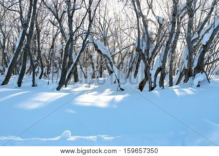 Snowcapped trees. Snow. Shade from trees. Sunshine.