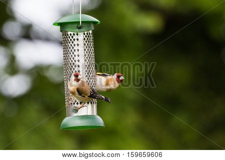 Two Goldfinch (Carduelis Carduelis) feed on Garden Feeder of Sunflower Hearts