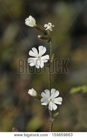 White Campion - Silene alba Tall White Flower