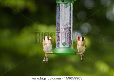 Two Goldfinch (Carduelis Carduelis) on Garden Feeder