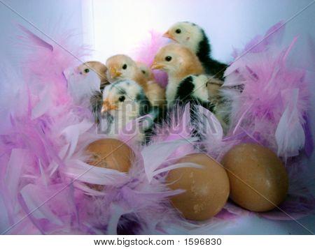 Chickensandegg2