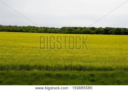 the blossoming rape field against the background of the wood a subject spring