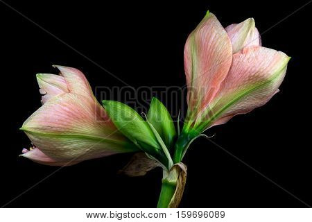 Close-up of pastel amaryllis flower. Zen in the art of flowers. Macro photography of nature.