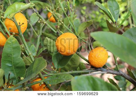 Ripe Orange Clementines In A Lush Mediterranean Orchard