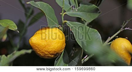 Yellow Mediterranean Lemon With Very Thick And Wrinkled Skin