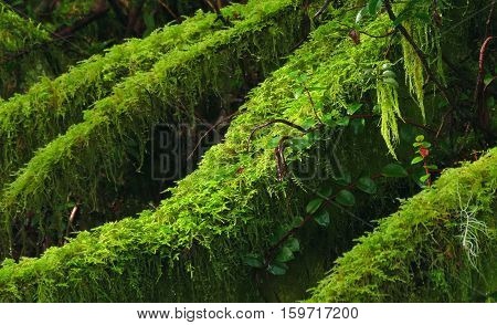 Lush emerald green moss blankets the forest floor deep within the rain forests of the Olympic Peninsula in Washington.