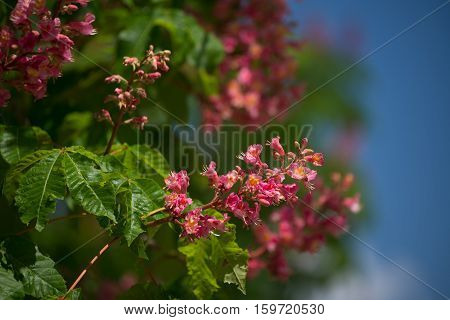 Inflorescence with flowers of red horse-chestnut ( Aesculus  carnea )