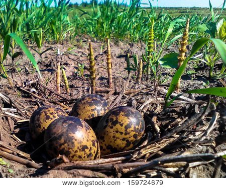 nest of quail camouflaged in the grass