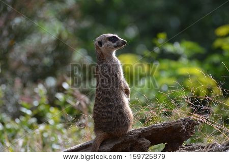 Meerkat sentry on alert and standing at attention.