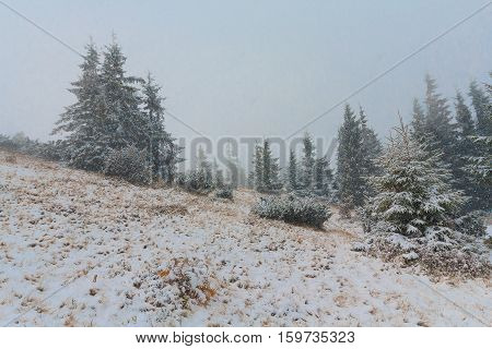 Pine trees in the snow on a mountain plain
