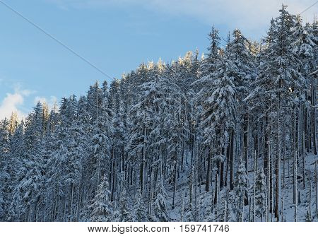 Evening falls on snow covered fir trees in the Deschutes National Forest on the Santiam Pass on a winter afternoon. The tips of the trees remain lit at this time of day.